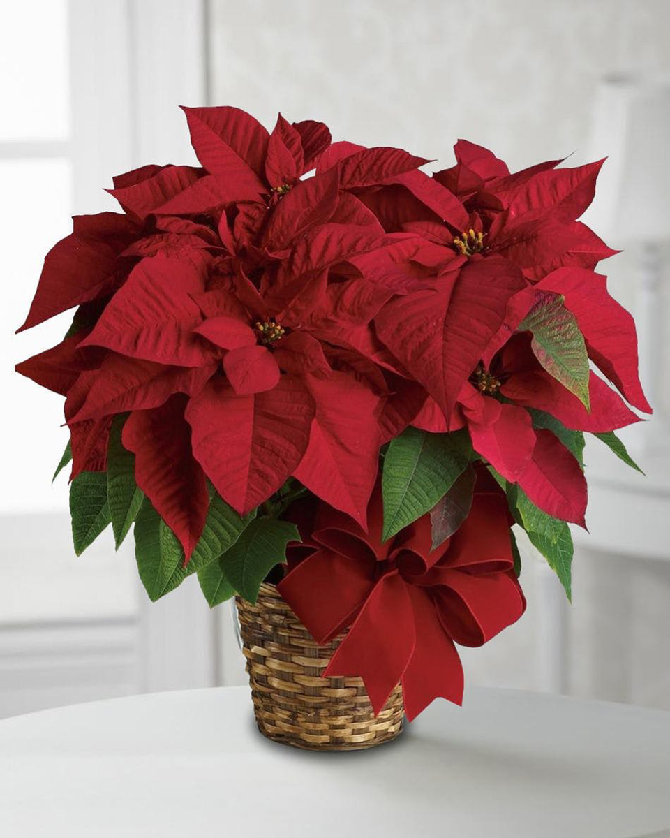 Red Poinsettia Plant-Standard (6 inch Pot)