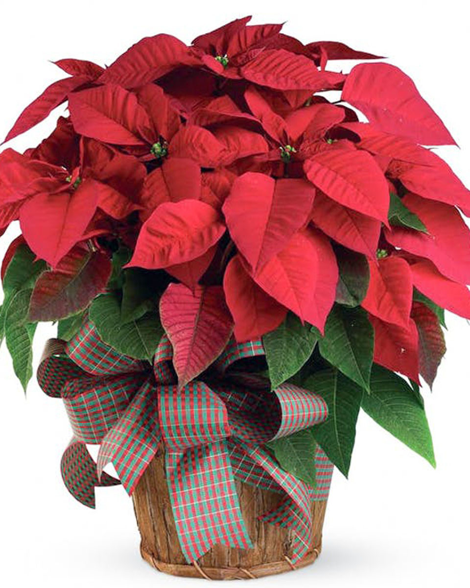 Red Poinsettia Plant-Large
