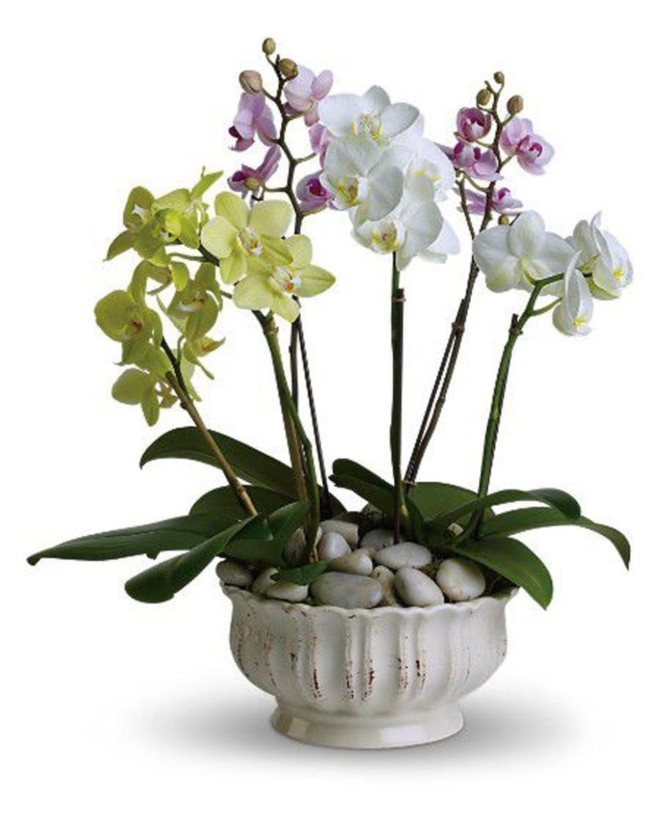 Phalaenopsis Orchid Garden-Standard