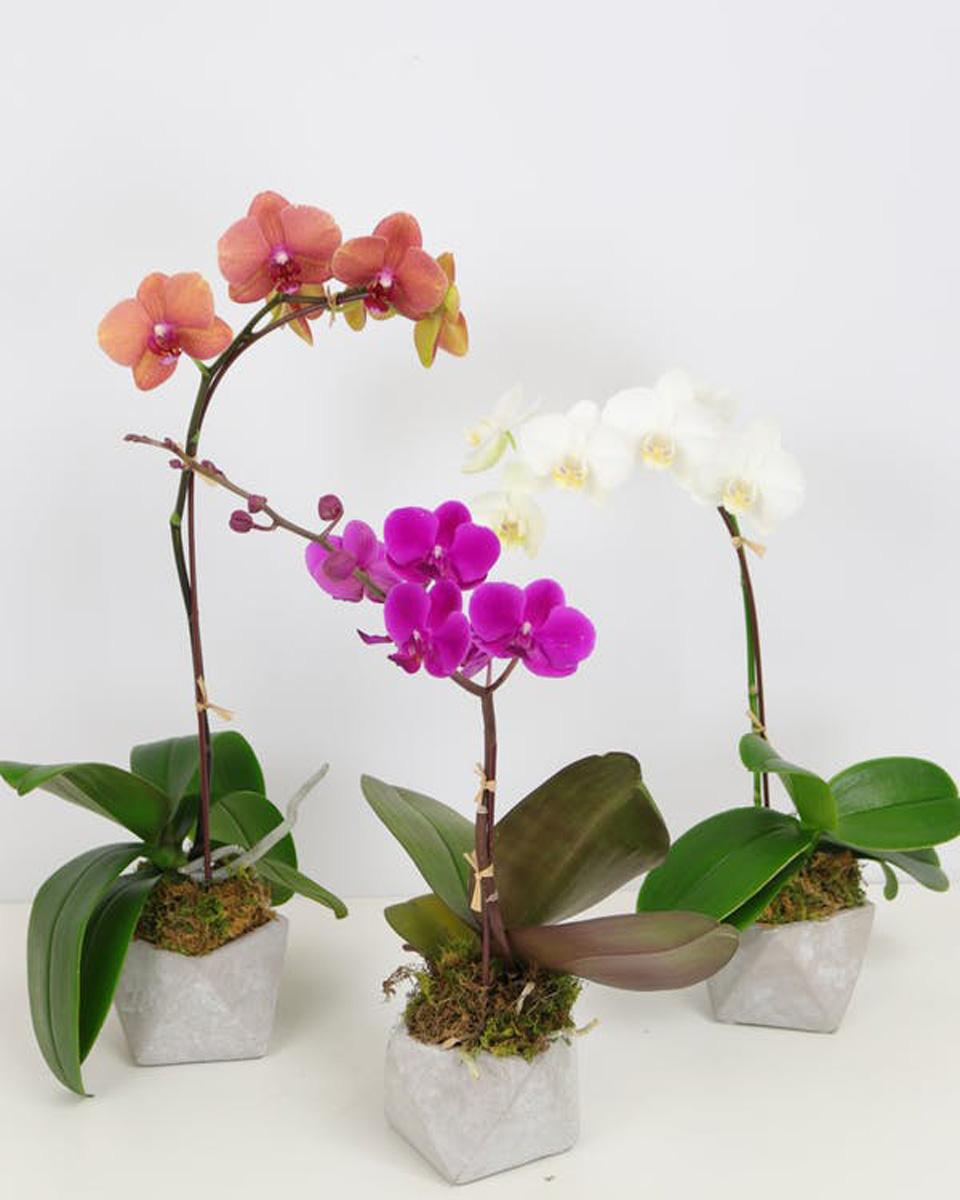 3 Orchid Plants