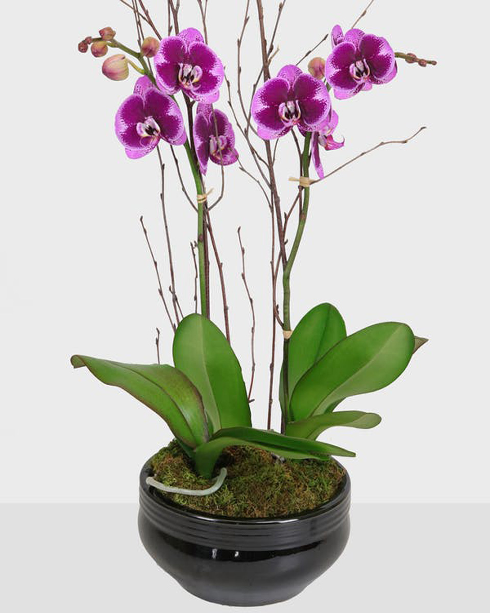 Double Spiked orchid Plant