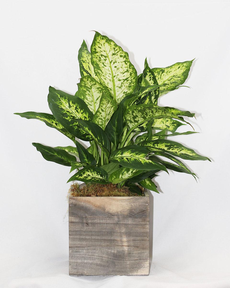 Standard (6 inch pot)