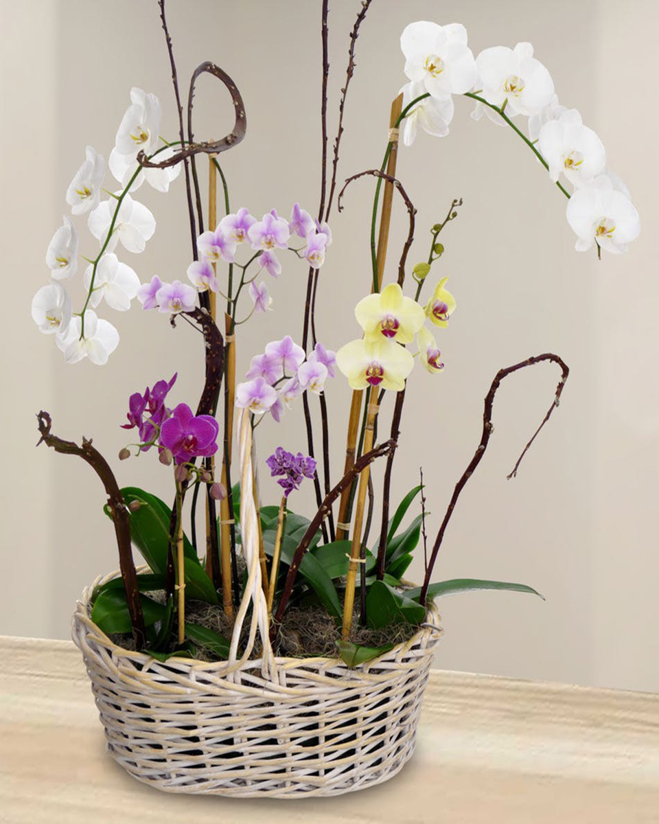 Orchid Garden-Standard