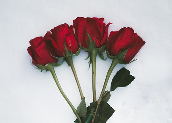 Loose Red Roses