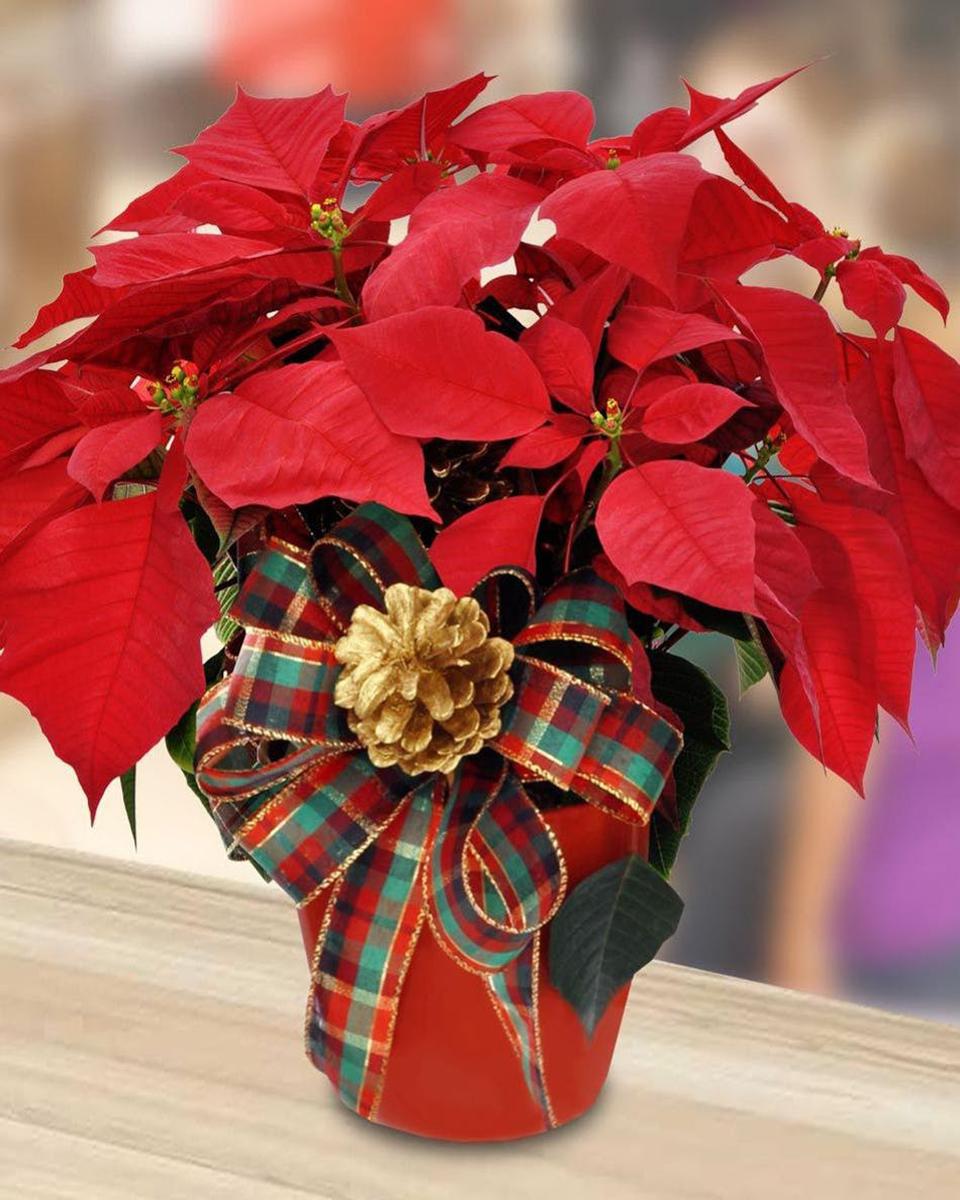 Festive Poinsettia Plant-Standard (6 inch Pot)