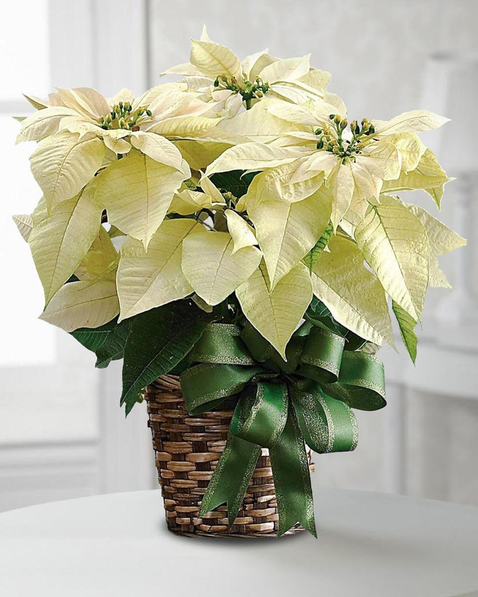 White Poinsettia Plant-Standard (6 inch Pot)