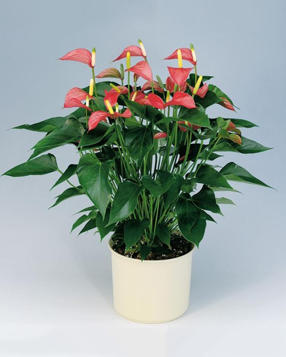 8 Inch Anthurium Plant
