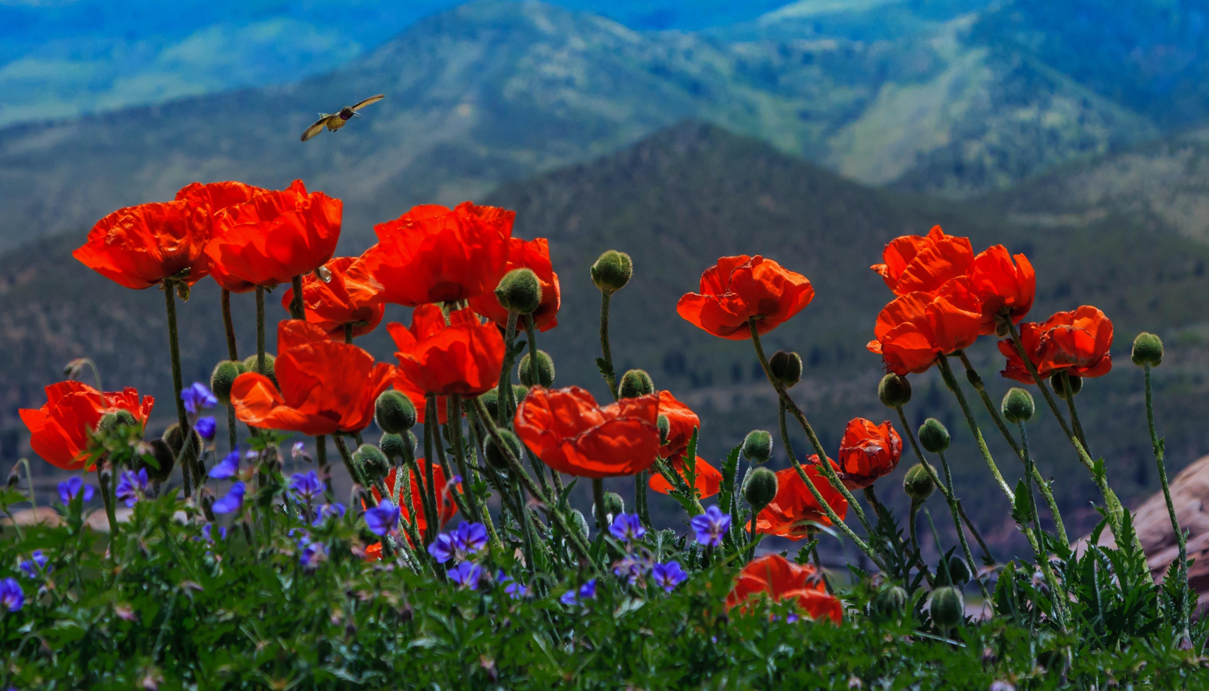 State Flower: California